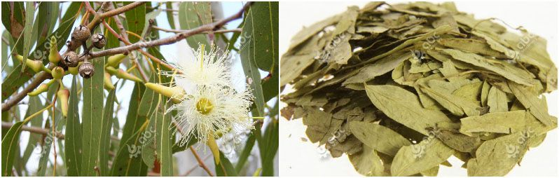 fresh and dried eucalyptus leaves
